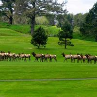 Elk roam on the golf course.  A common sight during the winter.